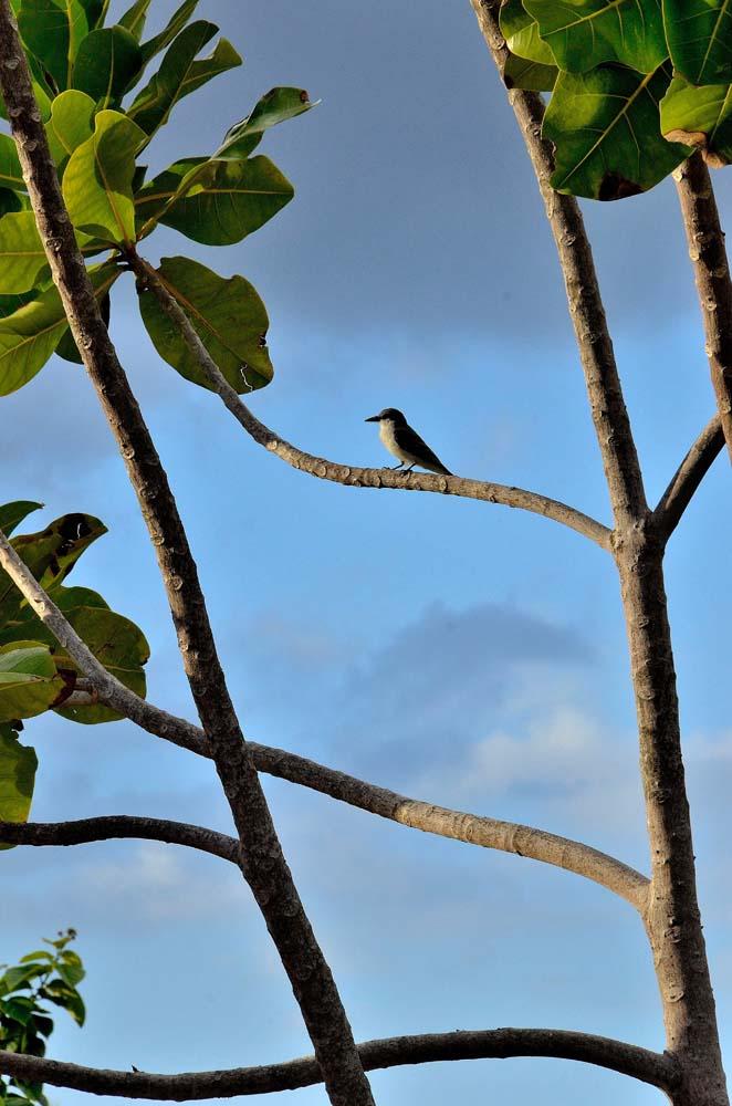 Cris Matos - Boriken Bird